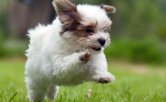havanese-puppies - Havanese Dogs Facts