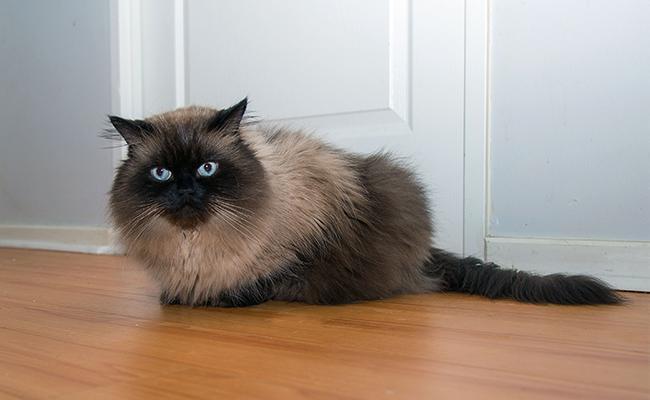 himalayan-cat-appearance