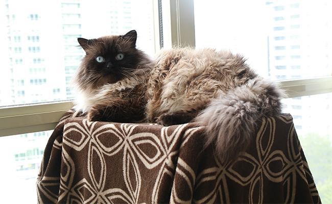 himalayan-cat-history