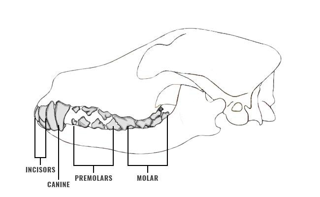 dog-teeth-diagram