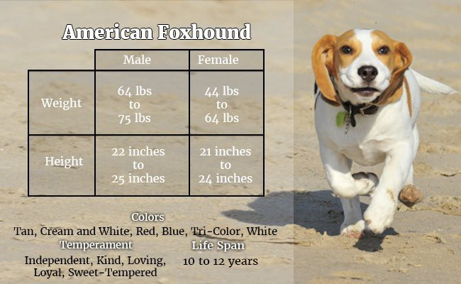 american-foxhound-the-gritty-dog - Hunter Dogs