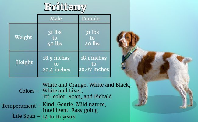 brittany-the-athletic-dog - Hunter Dogs