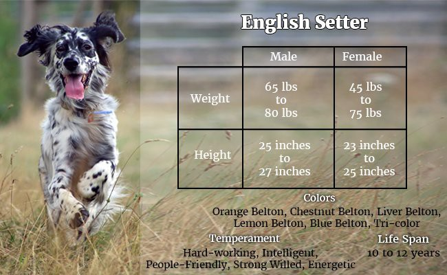 english-setter-the-elite-hunting-dogs