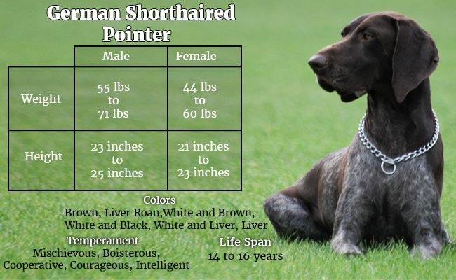 german-shorthaired-pointer-the-great-companion - Hunter Dogs