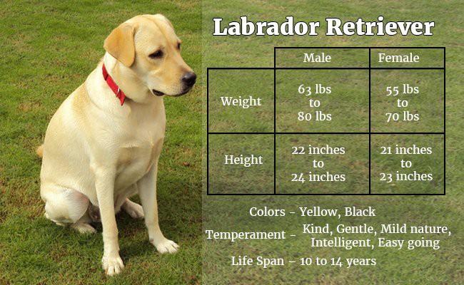 labrador-retriever-a-dog-with-never-say-die-attitude - Hunter Dogs