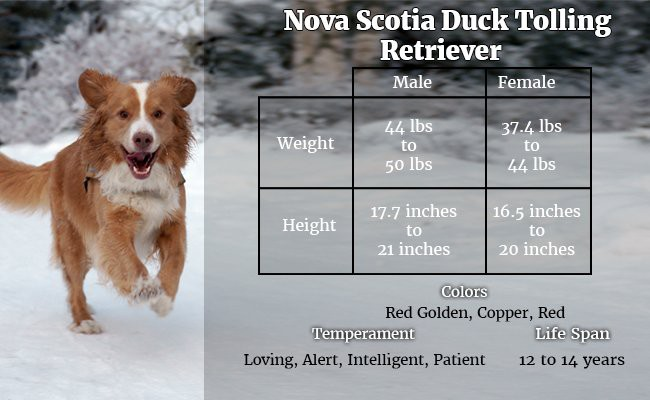 nova-scotia-duck-tolling-retriever-the-smallest-retriever - Hunter Dogs