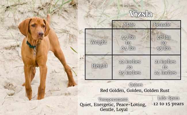 vizsla-the-fourlegged-hawk - Hunter Dogs