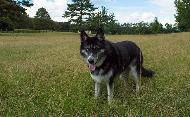 pyrenees-husky-husky-mix-breeds