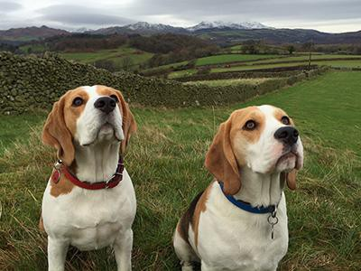 beagles-hypothyroidism-in-dogs