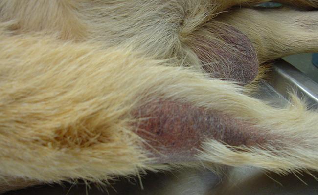 canine-hypothyroidism-hypothyroidism-in-dogs