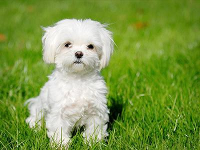 maltese-hypothyroidism-in-dogs