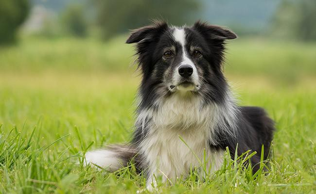 border-collie-intelligent-dogs