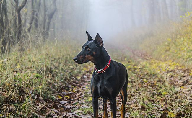 doberman-pinscher-intelligent-dogs