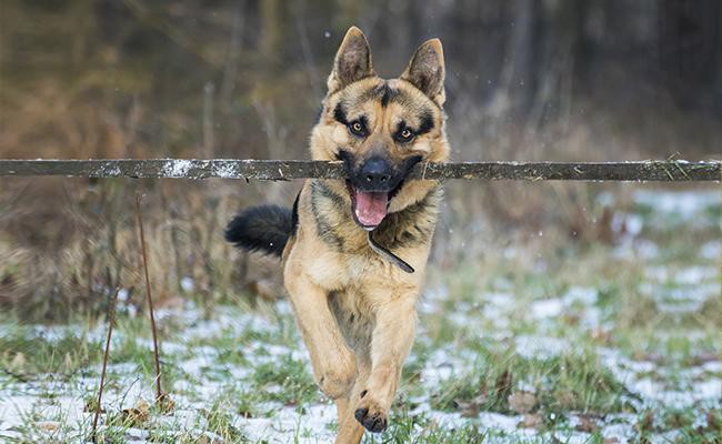 german-shepherd-intelligent-dogs