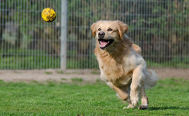 golden-retriever-intelligent-dogs