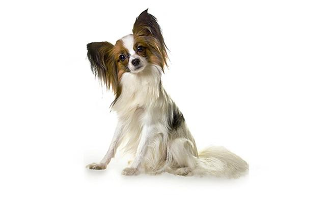 papillon-intelligent-dogs