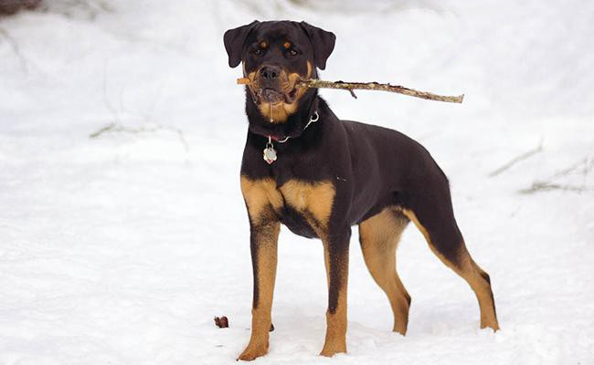 rottweilers-intelligent-dogs