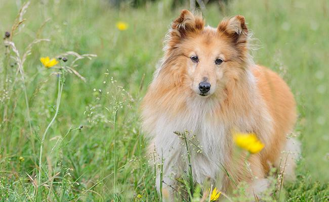 shetland-sheepdog-intelligent-dogs
