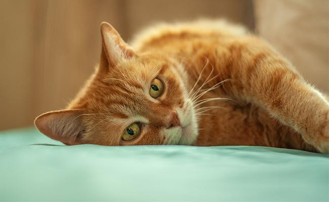 symptoms-of-essential-oil-poisoning-in-cats