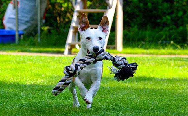 jack-russell-terrier-temperament