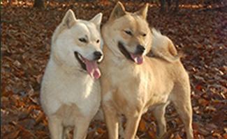 hokkaido-japanese-dog