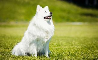 japanese-spitz-japanese-dog
