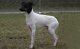 japanese-terrier-japanese-dog
