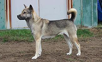 kishu-ken-japanese-dog