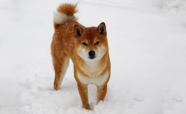 shiba-inu-japanese-dog