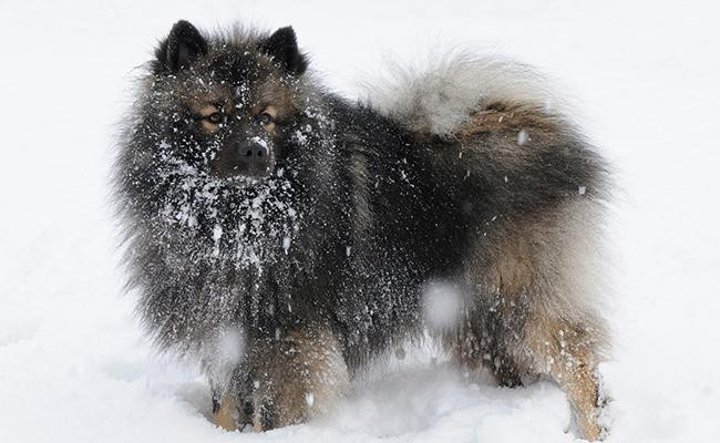keeshond-appearence