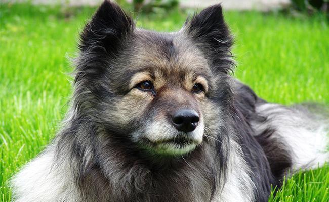 keeshond-breed-characteristics-sheet