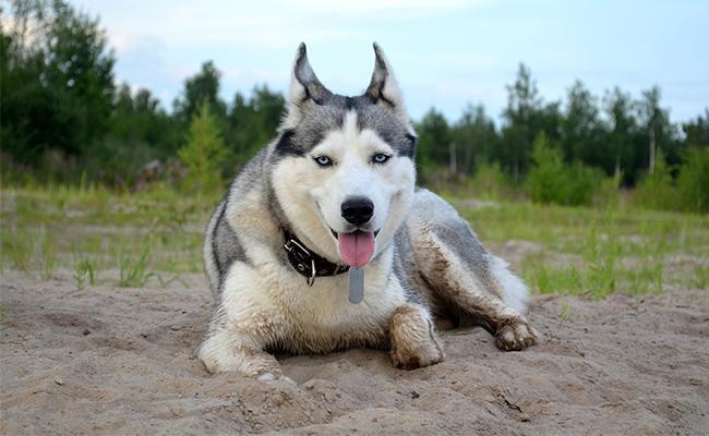 korean-names-for-siberian-huskies