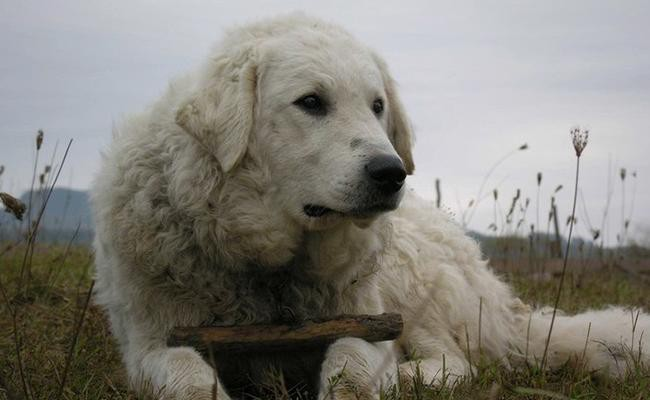 kuvasz-breed-characteristics-sheet