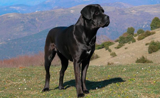 cane-corso-large-dog