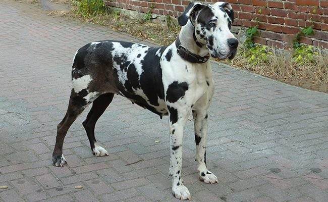 great-dane-large-dog