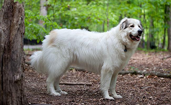 great-pyrenees-large-dog