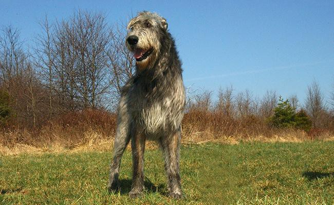 irish-wolfhound-large-dog