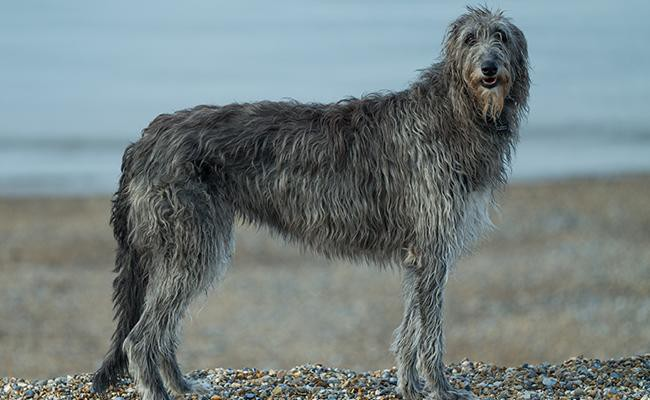 scottish-deerhound-large-dog