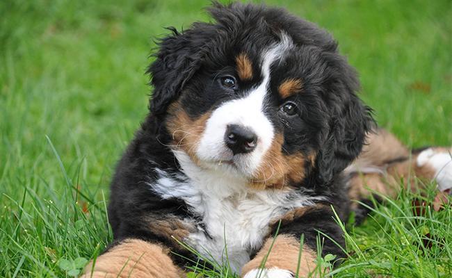 bernese-mountain-dog-lazy-dog-breeds