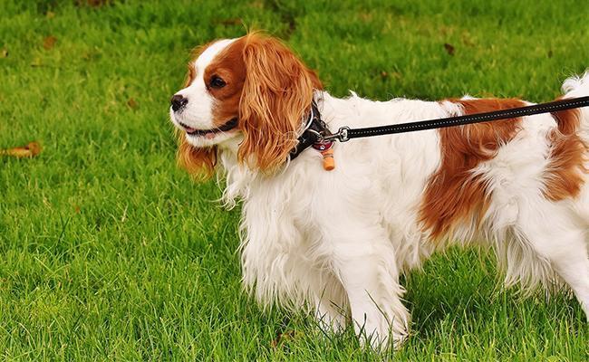 cavalier-king-charles-spaniel-lazy-dog-breeds