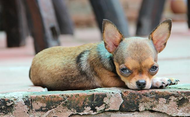 chihuahua-lazy-dog-breeds
