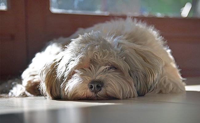 havaneselazy-dog-breeds