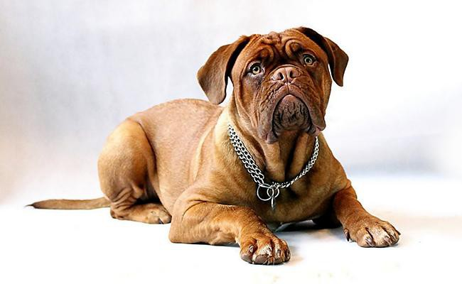 mastiff-lazy-dog-breeds