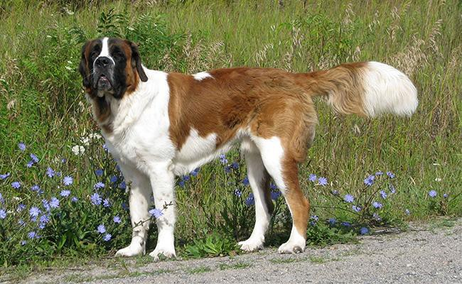 saint-bernard-lazy-dog-breeds