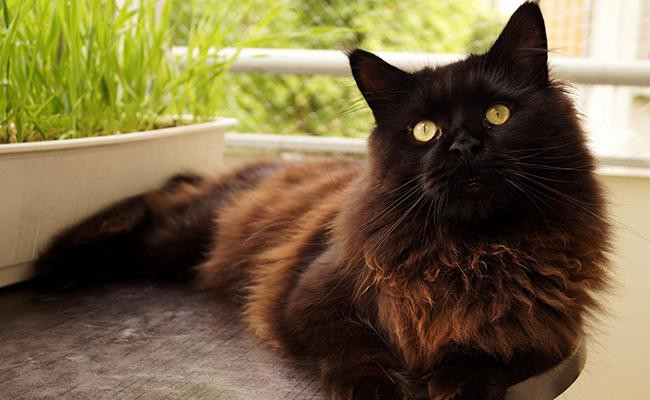 maine-coon-coat-colour-appearence