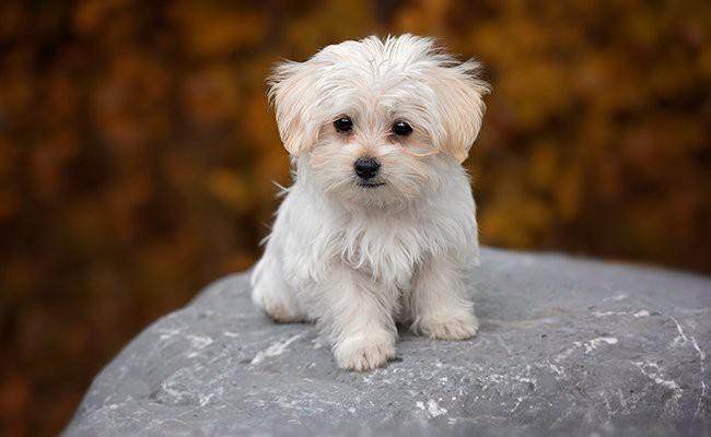 maltese-puppy-size