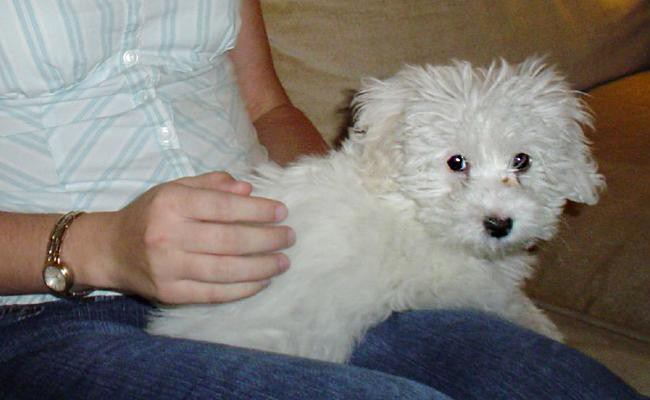 top-5-important-maltipoo-care-tips
