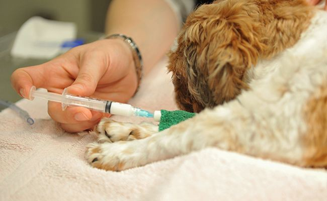 will-my-pet-feel-any-pain-when-the-microchipping-goes-on-does-my-pet-need-anesthesia-or-surgery - Microchipping Your Pet