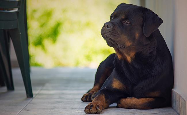 rottweiler-military-dogs
