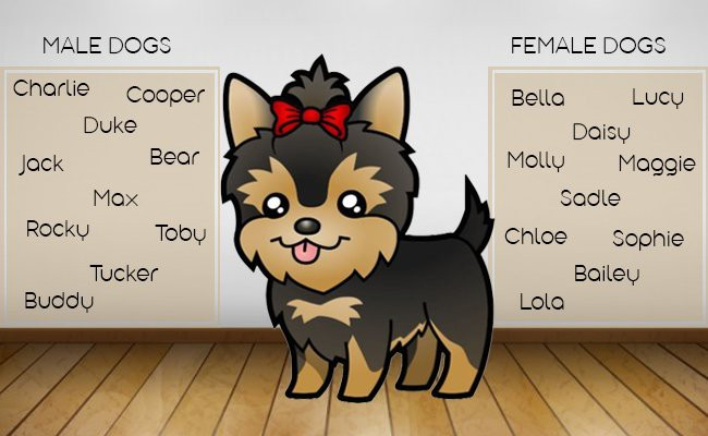 morkie-puppies-names - Morkie Puppy